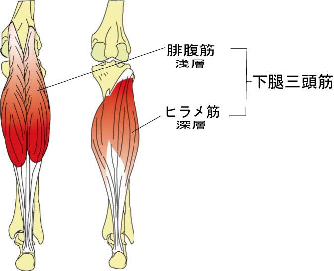 「ふくらはぎ 下腿三頭筋」の画像検索結果